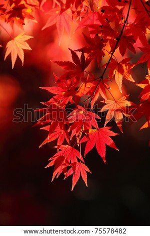 beautiful  maple leaves - stock photo
