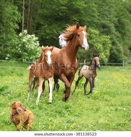 Beautiful mare and foal running with their herd on pasturage - stock photo
