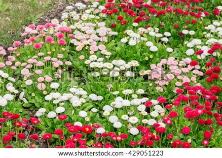 Beautiful marguerite daisy flower blooming in flower garden. - stock photo