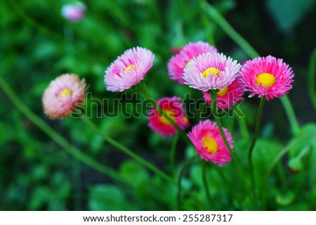 Beautiful marguerite flowers, outdoors  - stock photo