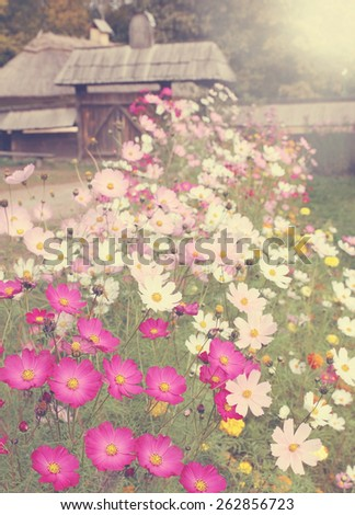 Beautiful meadow flowers Cosmos, great motley glade - stock photo