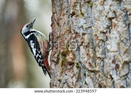 Beautiful middle spotted woodpecker perched on a big tree trunk - stock photo
