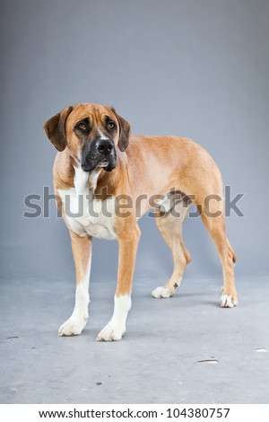 Beautiful mix of great dane and boxer dog isolated on grey background. Black brown and white. Studio shot. - stock photo