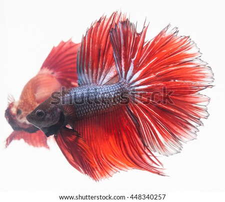 Beautiful moment red fish on white, two fish looking mirror, - stock photo