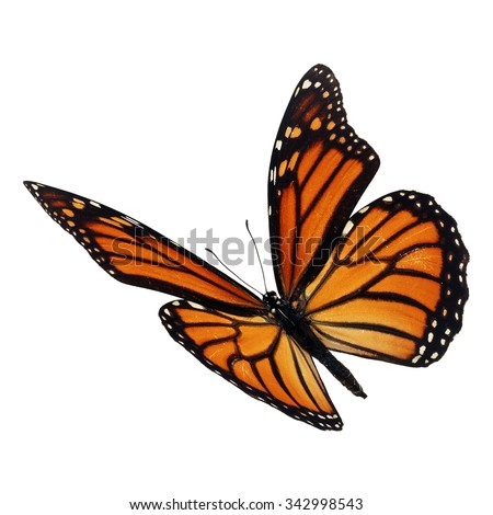 Beautiful monarch butterfly flying isolated on white background - stock photo