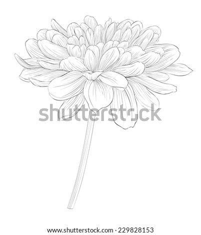 beautiful monochrome black and white dahlia flower isolated on white background. Hand-drawn contour lines and strokes. additional format in the profile of the artist - stock photo