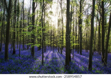 Beautiful morning in Spring bluebell forest - stock photo