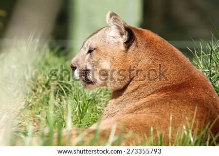 beautiful mountain lion portrait  at the zoo ( Puma concolor ) - stock photo