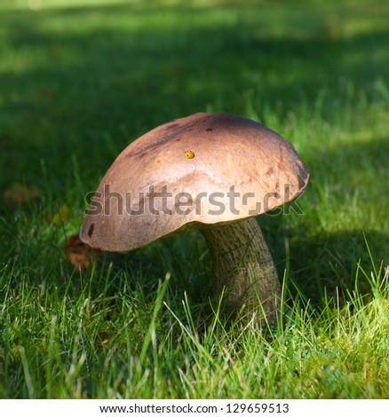 beautiful mushroom illuminated by the sunlight growing at the green grass meadow - stock photo