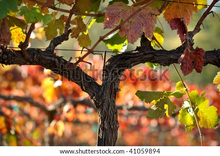 Beautiful Napa Valley Vineyard Grape Leaves - stock photo