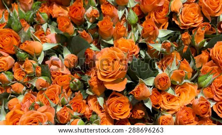 Beautiful natural fresh spring roses background - stock photo