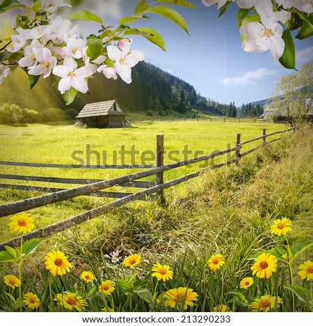 Beautiful nature composition with apple blossom and yellow daisies in a grass in a mountain village - stock photo