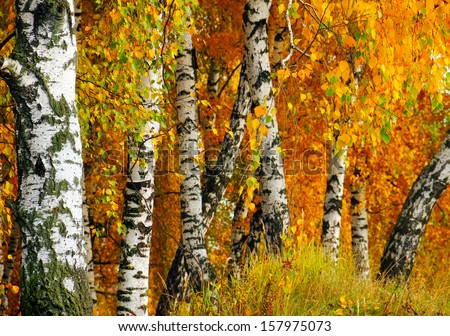 Beautiful nature landscape - white birch trunks and branches full of colorful yellow and green leaves in autumn forest of Moscow region, Russia - stock photo