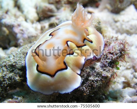 beautiful nudibranch - stock photo