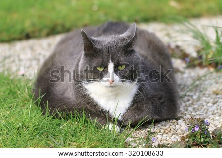 Beautiful obese cat spread out on the grass in the garden, tired and hungry after a workout - stock photo