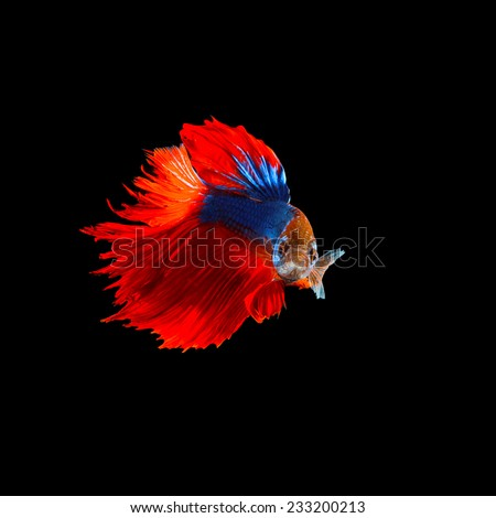 beautiful  of  red tail siamese betta fighting fish isolated on black background - stock photo