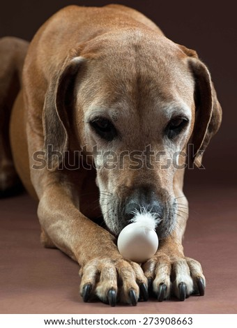 Beautiful old Rhodesian Ridgeback female dog with an egg. The brown hound is lying with an egg on its front feet. The dog is straight looking on it. - stock photo