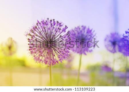 Beautiful Onion (Allium Giganteum) blooming in a garden - stock photo