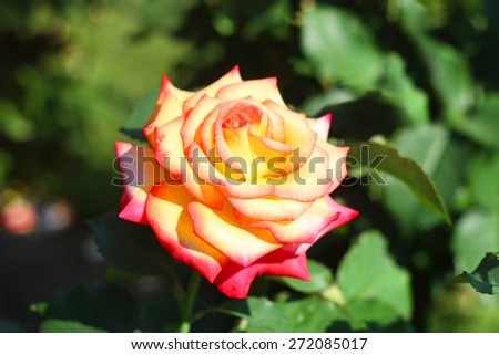 Beautiful Open Rose - stock photo