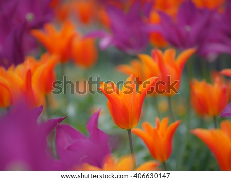 Beautiful orange and pink purple colored tulips in soft focus - vibrant colors - stock photo