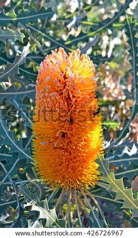 Beautiful orange Australian Banksia flower - stock photo