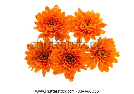 Beautiful orange chrysanthemum on a white background - stock photo
