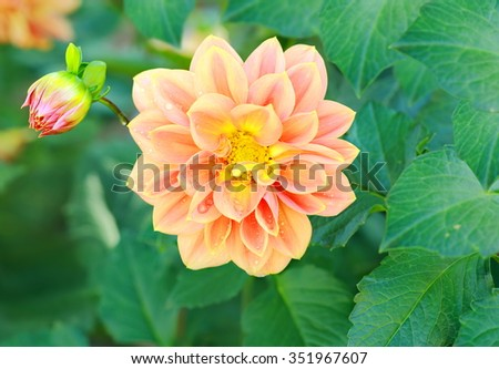 Beautiful orange dahlia flower and water drop in garden. - stock photo