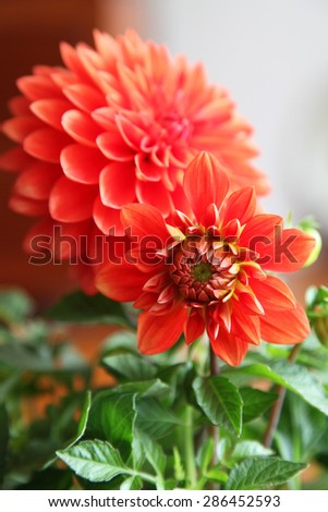 Beautiful orange Dahlia flower with green leaves on wooden background - stock photo