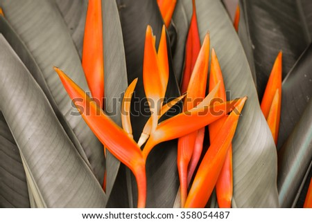 Beautiful orange flowers (Bird of paradise)  - stock photo