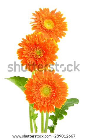 beautiful orange Gerber Daisy isolated on white background - stock photo