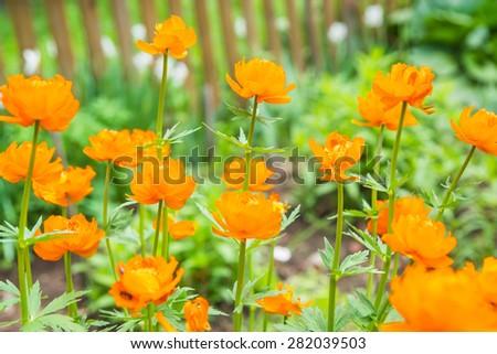 Beautiful orange globe-flower in a garden on a sunny summer day - stock photo