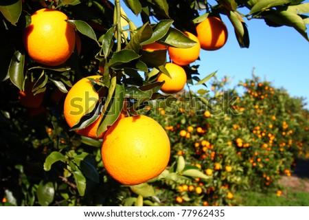 Beautiful orange groves of Florida on a sunny day - stock photo