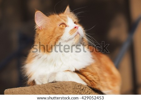 Beautiful Orange Long Haired Bi Color Doll Face Traditional Persian Cat Sitting on Ledge Looking Upwards to the Side - stock photo
