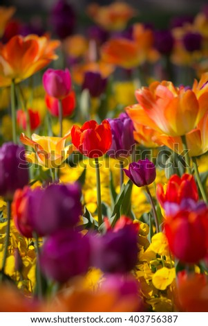 Beautiful orange, pink, yellow and red colored tulips - vibrant colors - sunny bright scene - stock photo