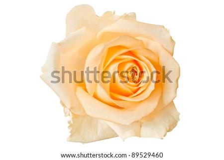 Beautiful orange rose, isolated on white - stock photo
