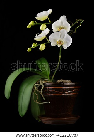 Beautiful orchid branch in flower pot on black background. Closeup. - stock photo