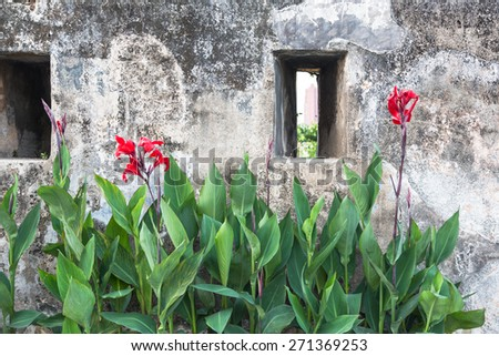 Beautiful orchid contrasting with the wall of the historic Monte Fort in Macau - stock photo
