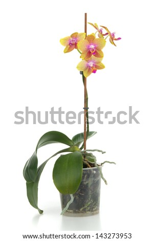 Beautiful orchid in flower - pot on white background - stock photo