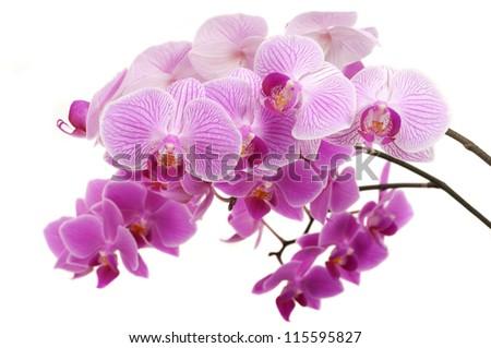 Beautiful orchids - stock photo
