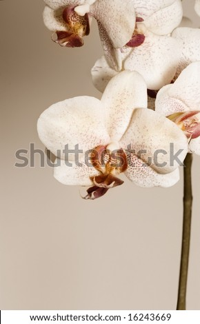 Beautiful Orchids in sepia - stock photo