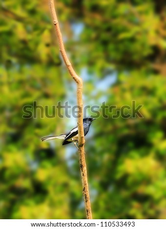 Beautiful Oriental Magpie-Robin bird on a twig in southern india. This bird is common in india & south east asia. Its scientifically known as Copsychus saularis. This photo is male bird. - stock photo