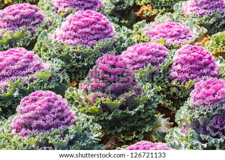 Beautiful ornamental cabbages - stock photo