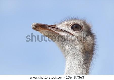 Beautiful Ostrich - stock photo