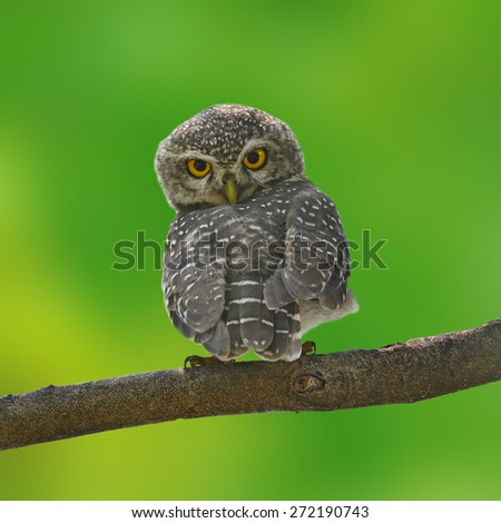 Beautiful Owl bird (Spotted owlet) perching on a branch - stock photo