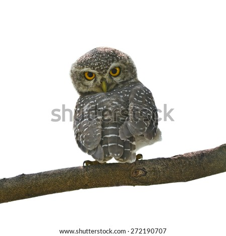 Beautiful Owl bird (Spotted owlet) perching on a branch on white background - stock photo