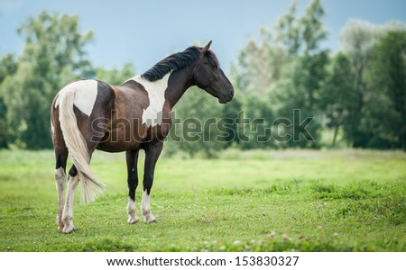 Beautiful painted horse standing on the pasture - stock photo