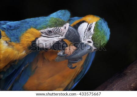 Beautiful pair of Blue and yellow Macaw, also known as Blue and gold macaw, Ara ararauna,trying to crack a nut together. It is one of the most colourful parrot bird's in the world, stock image, India. - stock photo