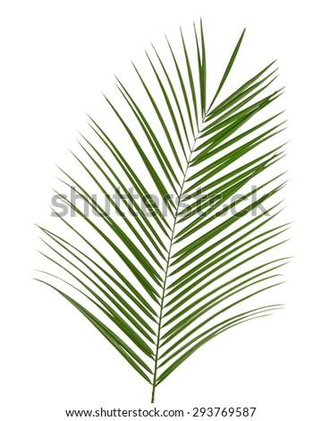 Beautiful palm leaf isolated on white - stock photo