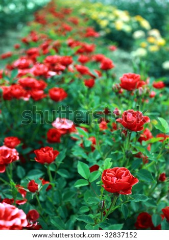 beautiful park full of red roses - stock photo