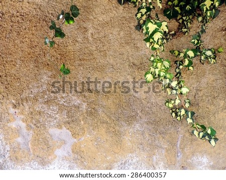 Beautiful pattern of ivy branches on a grungy concrete wall background. - stock photo